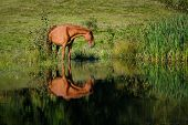 picture of bay horse  - Horse at the watering a small lake at the summer time - JPG
