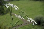 image of weed  - green weed with large white flowers shot - JPG