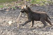 stock photo of hyenas  - Spotted hyena  - JPG