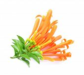 picture of trumpet flower  - Orange trumpet isolate on white background - JPG