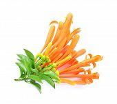 image of trumpet flower  - Orange trumpet isolate on white background - JPG