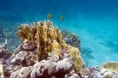 image of fire coral  - coral reef with exotic fishes butterflyfishes on the bottom of tropical sea  - JPG