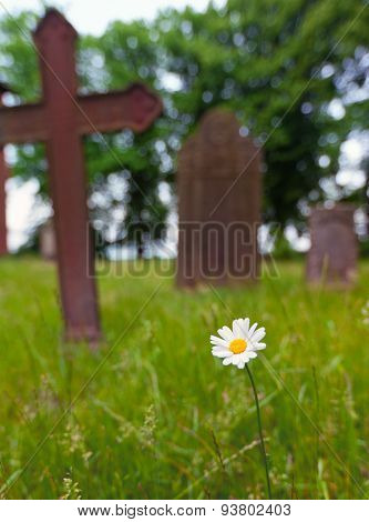 Marguerite daisy flower in front of tombstones on graveyard, selective focus