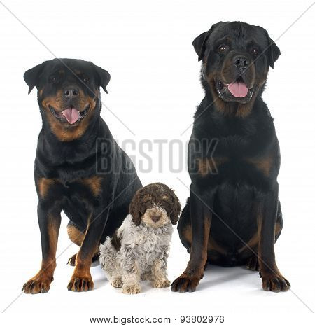 Rottweilers And Lagotto Romagnolo