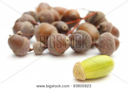 Green With Brown Acorns On White Background