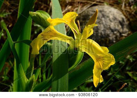 Wilderness At The River Fly Hiding In The Flower Iris Yellow Or Marsh