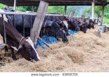 Cows In A Farm, Dairy Cows Eating In A Farm