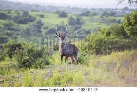 Waterbuck in the wild