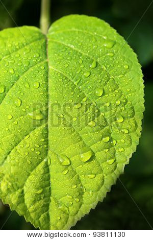 Beautiful Large Green Leaves