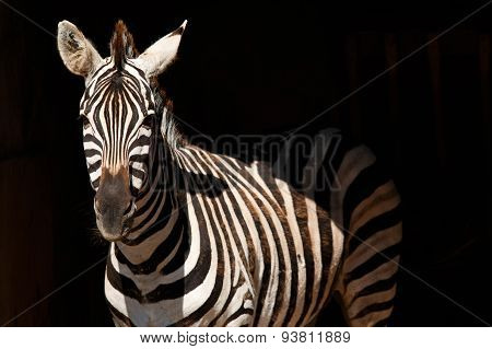 zebra on black background