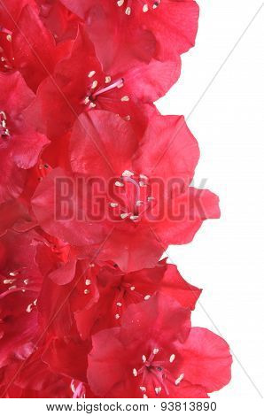 Red rhododendron flower petals