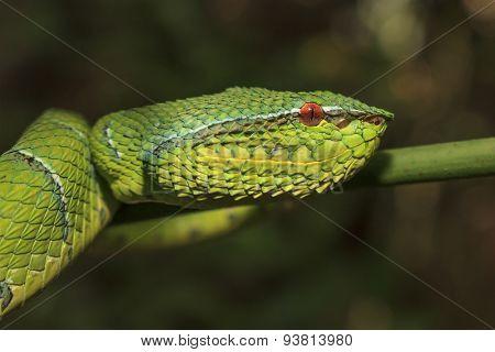 Snake (Borneo Pit Viper)