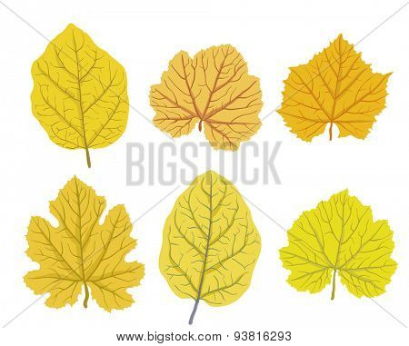 Set of autumn leaves of trees, isolated on white, vector illustration