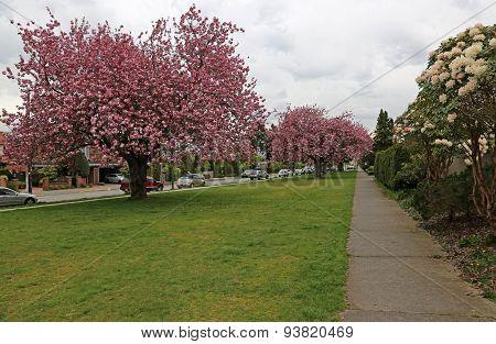 Kitsilano Spring Blossoms