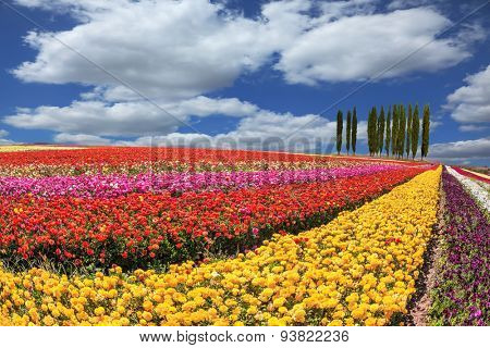 Huge fields of garden buttercups /ranunculus/  ripened for harvesting. Avenue of cypress trees adorn the landscape