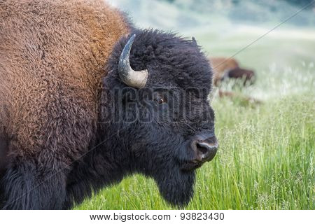 Image Of Buffalo Head.
