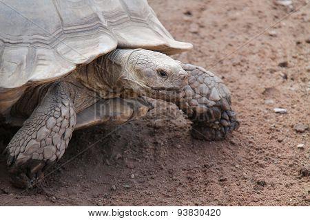 Giant Earth Tortoise.