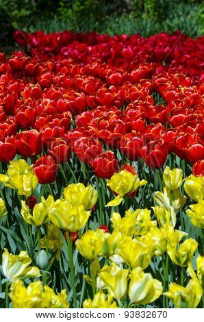 Red And Yellow Tulips In Keukenhof