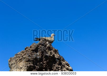 Lonesome Dove sitting on a stone, on background of sky.