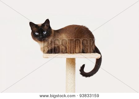 siamese cat resting on platform