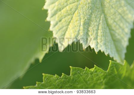 Grapevine leaves - background