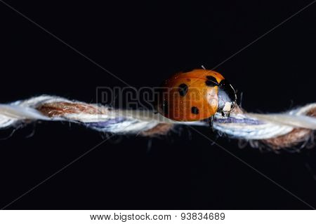 Ladybug Sleeping On String In Front Of Black Background