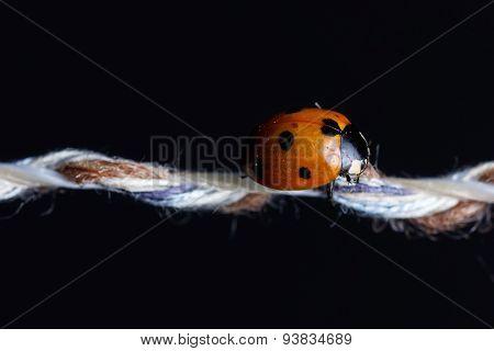 Ladybug Sleeping On String In Front Of Black Background
