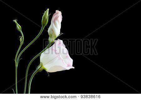 Beautiful lisianthus flowers