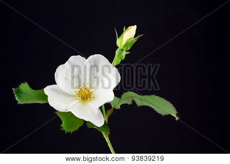 White Rose With Bud And Leaves