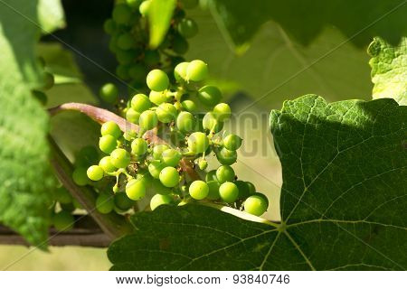 Closeup Of A Genuine Bunch Of Ripening Green Grapes Growing In The Garden To Harvest. The Backlit.