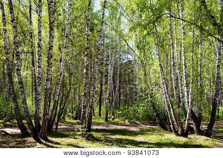 Birch Forest In The Early Spring