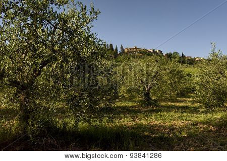 Landscape With Olive Trees, Tuscany, Italy