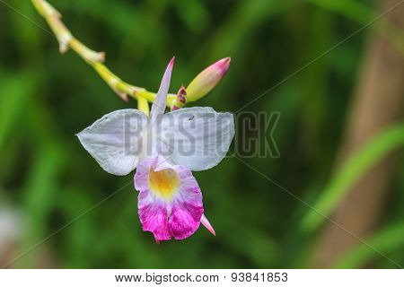 Arundina graminifolia terrestrial orchid close up