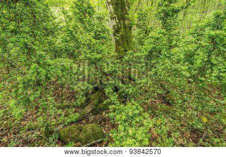 Bushes Of Boxwood.
