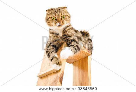Portrait of a playful cat Scottish Fold
