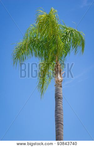 Individual Palm Tree