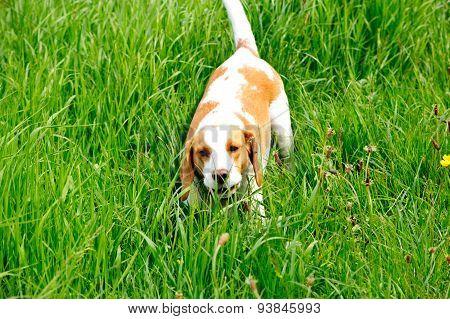 Gun Dog Beagle