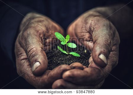 Young Sprout Plants In Old Dirty Hands, Concept