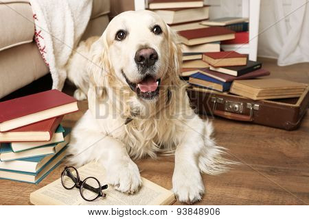 Portrait of cute Labrador with pile of books in room