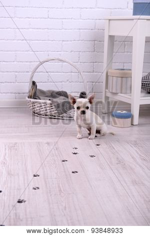Adorable chihuahua dog and muddy paw prints on wooden floor in room