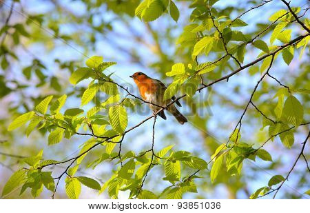 Robin among green leaves