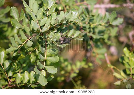 tree round leaves detail fruits horses food