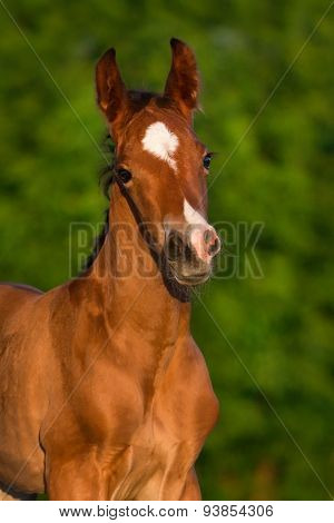 Bay foal portrait