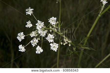 Cow Parsley Close Up