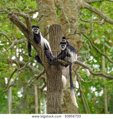Black And White Colobus Monkeys on a tree