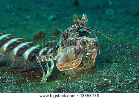 manits shrimp