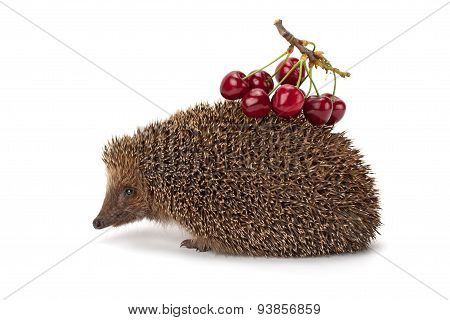 Hedgehog And A Sprig Of Cherry