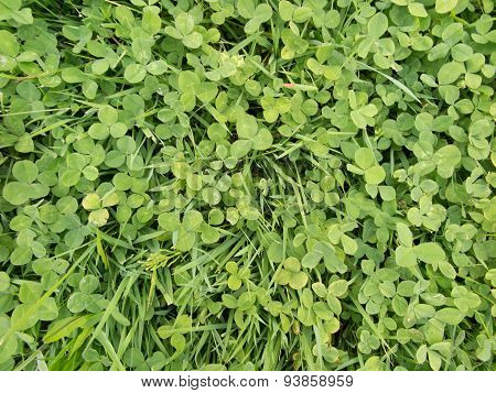 Background With Green Leaves Of Clover