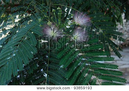 acacia tree flowers