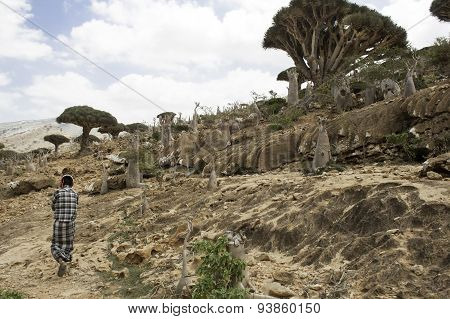Native Socotran walking in Dragon blood tree forest, Socotra Island, Yemen, February 12th 2014.